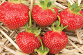 Albion Day-Neutral Strawberry bundle of 25
